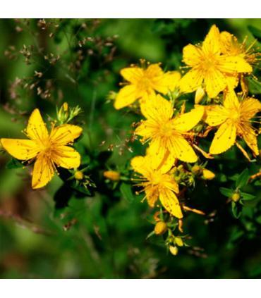 planta hiperico