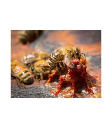 abeja creando el propóleo