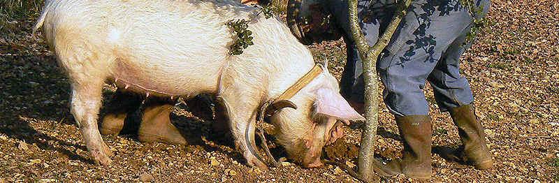 Jabalí, cerdo en recolecta de trufas negras